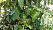 96 Acres of Coffee Eucalyptus Plantation in Mityana | Land & Plots For Sale for sale in Central Region, Kampala