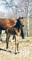 Horses (Stallion) Available | Other Animals for sale in Kampala, Central Region, Uganda