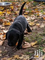 Young Female Purebred Labrador Retriever | Dogs & Puppies for sale in Central Region, Kampala