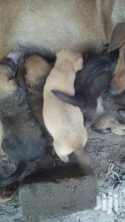 Young Male Purebred | Dogs & Puppies for sale in Central Region, Wakiso