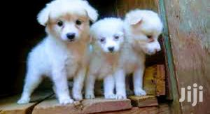 Young Male Purebred Japanese Spitz