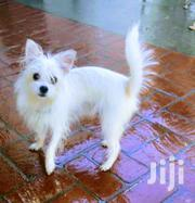 Adult Male Purebred Japanese Spitz | Dogs & Puppies for sale in Central Region, Kampala
