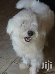 Adult Female Purebred Maltese   Dogs & Puppies for sale in Central Region, Kampala