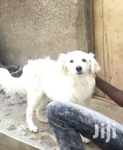 Baby Male Purebred American Eskimo Dog   Dogs & Puppies for sale in Central Region, Kampala