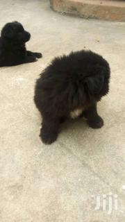 Baby Female Purebred Maltese Shih Tzu | Dogs & Puppies for sale in Central Region, Kampala