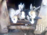 Exotic Rabbits For Sale | Other Animals for sale in Central Region, Kampala