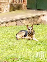 Adult Male Purebred German Shepherd Dog | Dogs & Puppies for sale in Central Region, Wakiso