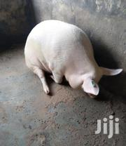 Pigs | Livestock & Poultry for sale in Central Region, Wakiso