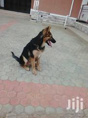 Senior Female Purebred German Shepherd Dog | Dogs & Puppies for sale in Central Region, Kampala