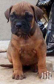 Original Breed Boerboel Puppies | Dogs & Puppies for sale in Central Region, Kampala