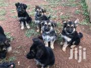 Pure Bred Shepherd Puppies | Dogs & Puppies for sale in Central Region, Kampala