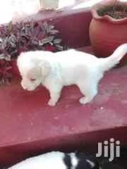 Young Male Purebred American Eskimo Dog | Dogs & Puppies for sale in Central Region, Kampala
