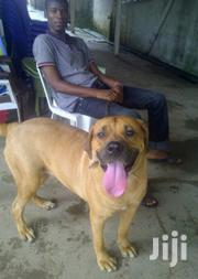 Adult Female Purebred Boerboel | Dogs & Puppies for sale in Central Region, Kampala