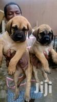 Baby Female Purebred Boerboel | Dogs & Puppies for sale in Kampala, Central Region, Uganda