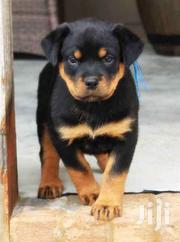Super Rottweiler Puppies | Dogs & Puppies for sale in Central Region, Kampala