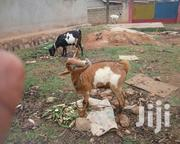 Goat One Year Old | Livestock & Poultry for sale in Central Region, Kampala