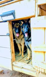 Adult Male Purebred German Shepherd Dog | Dogs & Puppies for sale in Central Region, Kampala