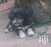 Young Female Mixed Breed Maltese | Dogs & Puppies for sale in Central Region, Kampala