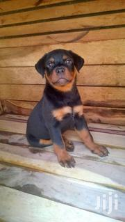 Young Male Purebred Rottweiler | Dogs & Puppies for sale in Central Region, Kampala