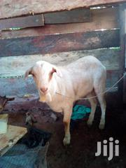 Goat On Market | Other Animals for sale in Central Region, Kampala