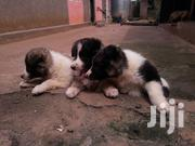 Baby Female Purebred Bernese Mountain Dog   Dogs & Puppies for sale in Central Region, Kampala