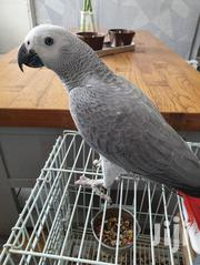 African Grey Parrot for Sale | Birds for sale in Western Region, Kisoro
