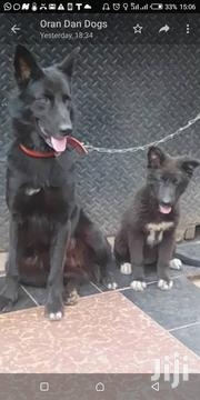 Adult Female Mixed Breed Belgian Malinois | Dogs & Puppies for sale in Central Region, Kampala