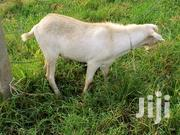 Cheap Goats | Livestock & Poultry for sale in Central Region, Kampala