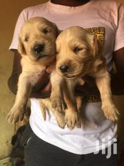 Baby Male Purebred Golden Retriever | Dogs & Puppies for sale in Central Region, Kampala