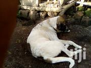 Adult Male Mixed Breed German Shepherd Dog   Dogs & Puppies for sale in Central Region, Kampala