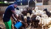 Sheep For Sell | Other Animals for sale in Central Region, Kampala