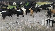 Pure Black Goats | Other Animals for sale in Central Region, Kampala