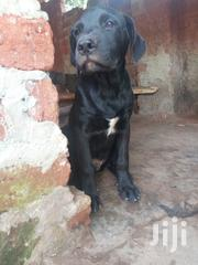 Young Female Purebred Great Dane | Dogs & Puppies for sale in Central Region, Wakiso