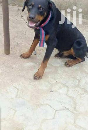 Adult Female Purebred Rottweiler