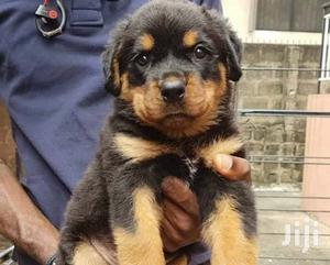 Young Female Purebred Rottweiler