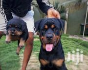 Senior Male Purebred Rottweiler | Dogs & Puppies for sale in Central Region, Kampala