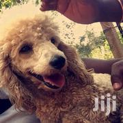 Young Female Purebred Poodle | Dogs & Puppies for sale in Central Region, Kampala