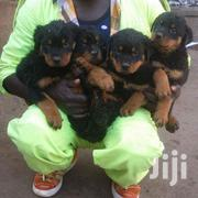 Young Male Purebred Rottweiler | Dogs & Puppies for sale in Central Region, Wakiso
