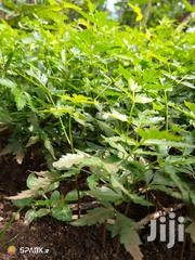 Neem Tree Seedlings For Sale | Feeds, Supplements & Seeds for sale in Central Region, Kampala