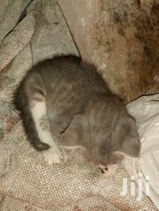 Baby Female Purebred Mongrel (No Breed) | Cats & Kittens for sale in Central Region, Kampala