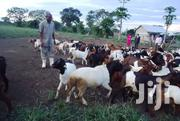 Whole Goat Farm For Sale | Livestock & Poultry for sale in Central Region, Kampala
