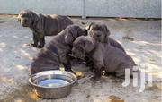 Baby Male Purebred Bullmastiff | Dogs & Puppies for sale in Central Region, Kampala
