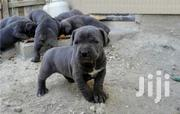 Young Male Purebred Bullmastiff | Dogs & Puppies for sale in Central Region, Kampala