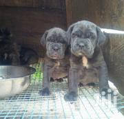 Young Male Purebred Mastiff | Dogs & Puppies for sale in Central Region, Kampala