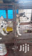 Young Male Purebred Siberian Husky | Dogs & Puppies for sale in Kampala, Central Region, Uganda