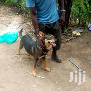 Adult Male Mixed Breed Mongrel (No Breed) | Dogs & Puppies for sale in Central Region, Kampala