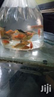 Yellow Comet Goldfish | Fish for sale in Central Region, Kampala