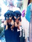 Baby Male Purebred Rottweiler | Dogs & Puppies for sale in Kampala, Central Region, Uganda