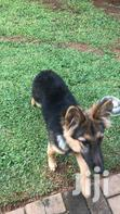 Young Female Purebred German Shepherd Dog | Dogs & Puppies for sale in Kampala, Central Region, Uganda
