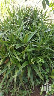 Fresh Aloe Vera | Feeds, Supplements & Seeds for sale in Central Region, Kampala